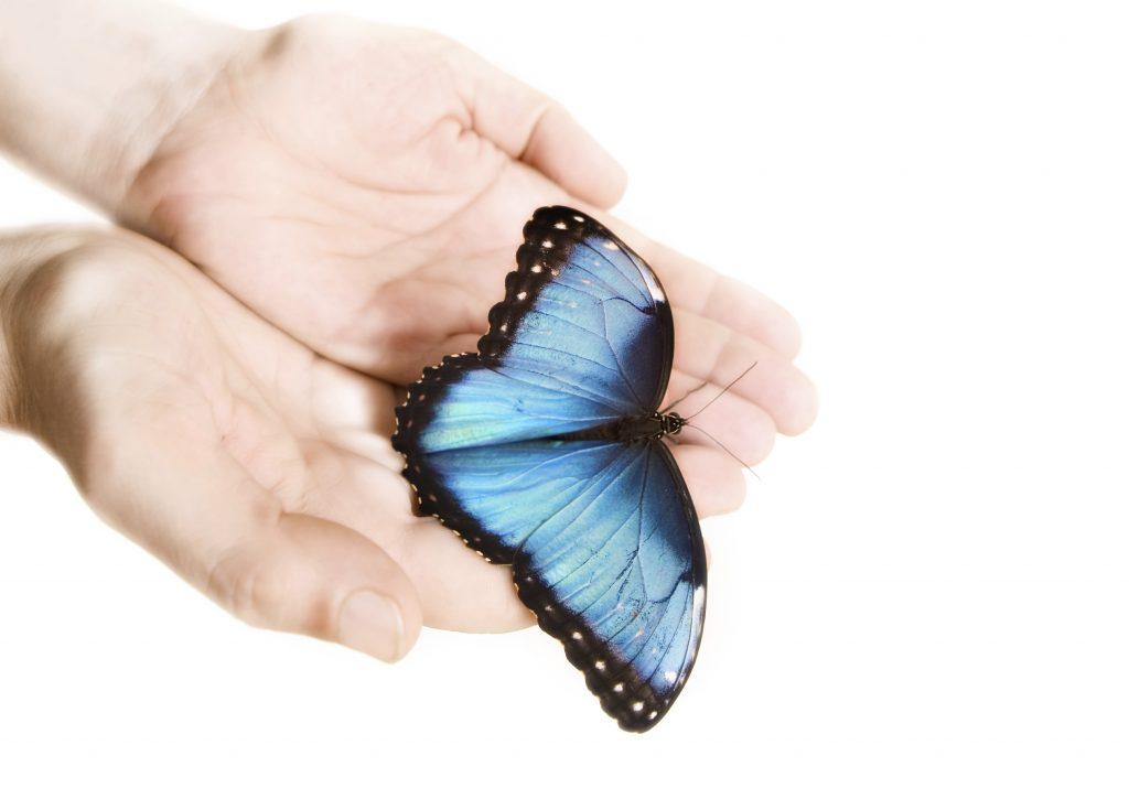 man hands holding Blue Morpho butterfly